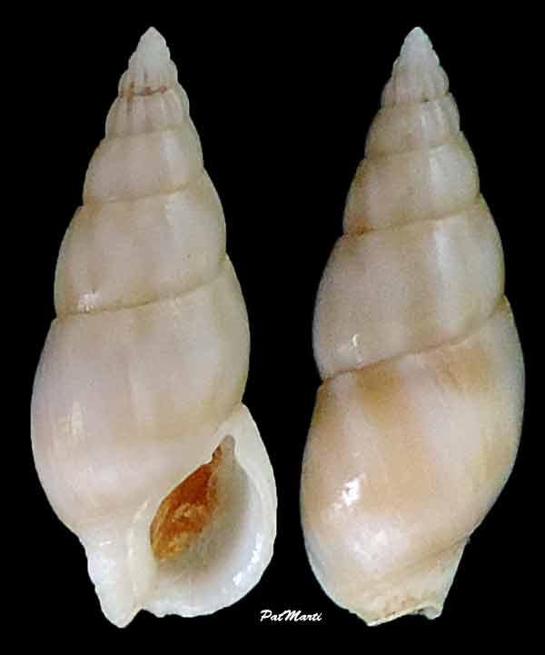 Nassarius poupini - Cernohorsky, 1992 Nassar10