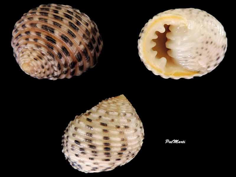 Nerita plicata ( Linnaeus, 1758 )    Nerita10