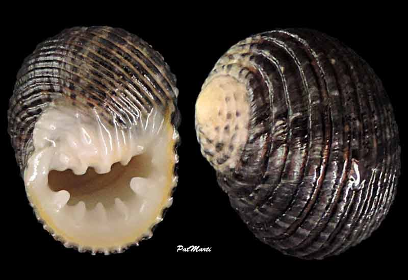 Nerita planospira - Anton, 1838 Nerita11