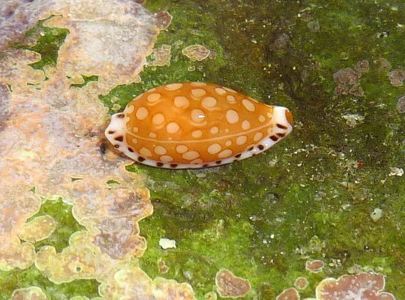 Cribrarula cumingii - Sowerby, 1832 - Live P1140314