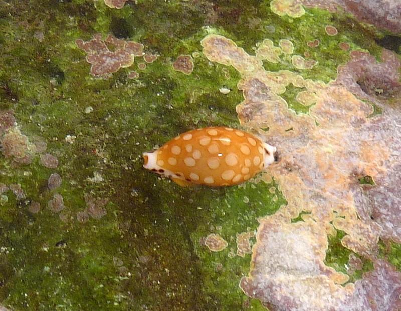 Cribrarula cumingii - Sowerby, 1832 - Live P1140315