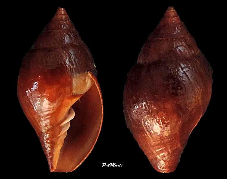 Vexillum oleacea - (Reeve, 1844)  Zierli10
