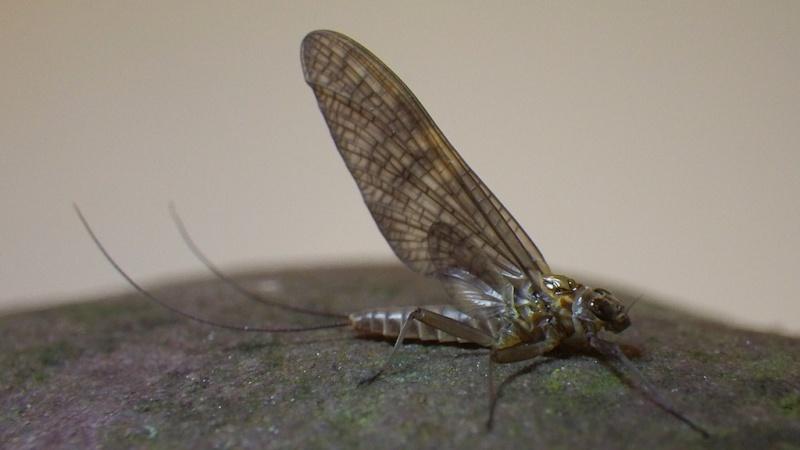 Photos d'insectes  - Page 8 Torren10