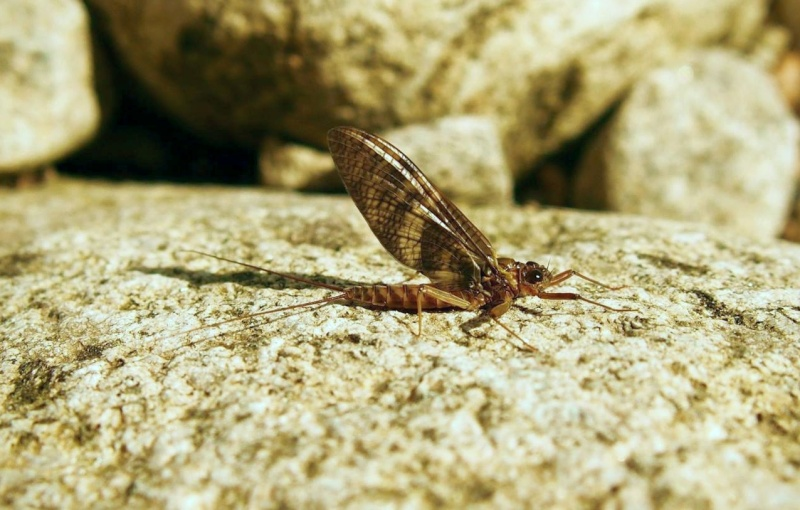 Photos d'insectes  - Page 8 Venosu11