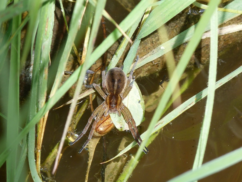 Arachnidé sur l'eau... Araign10