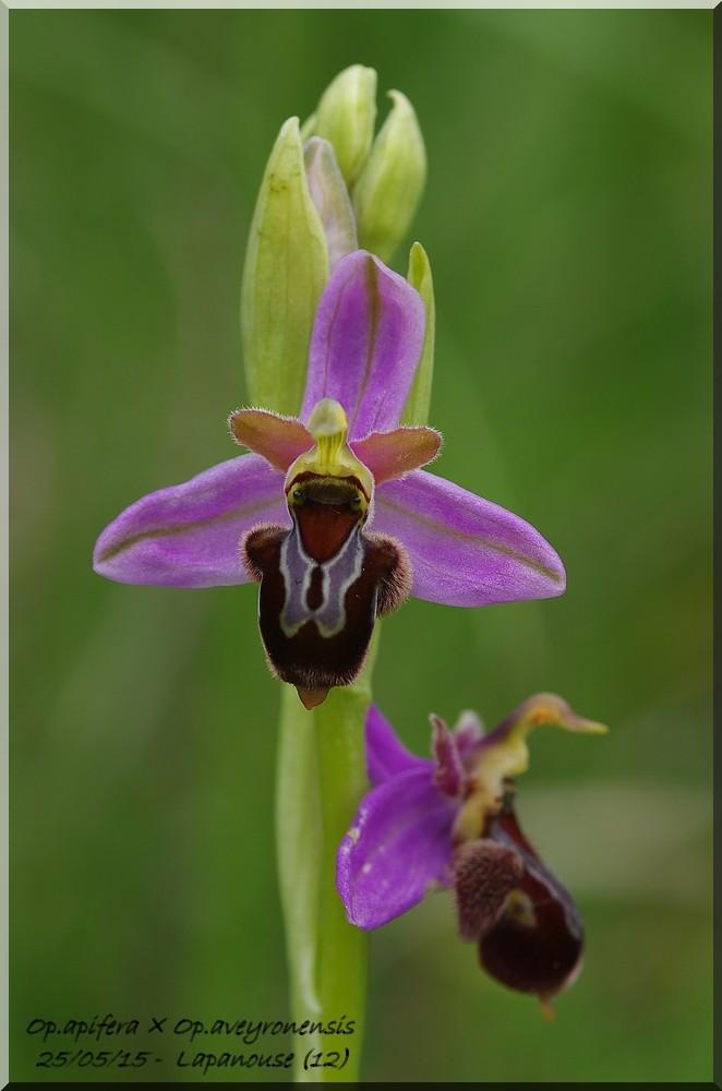 Ophrys apifera x aveyronensis Imgp0512