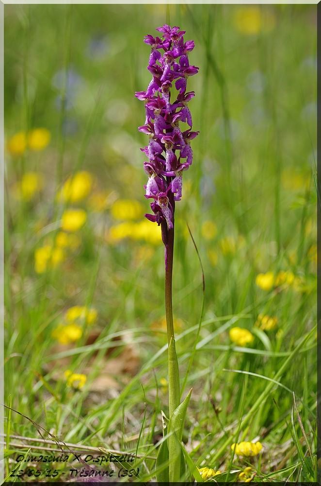 Orchis mascula × spitzelii  (×amsittenii)  Imgp6111