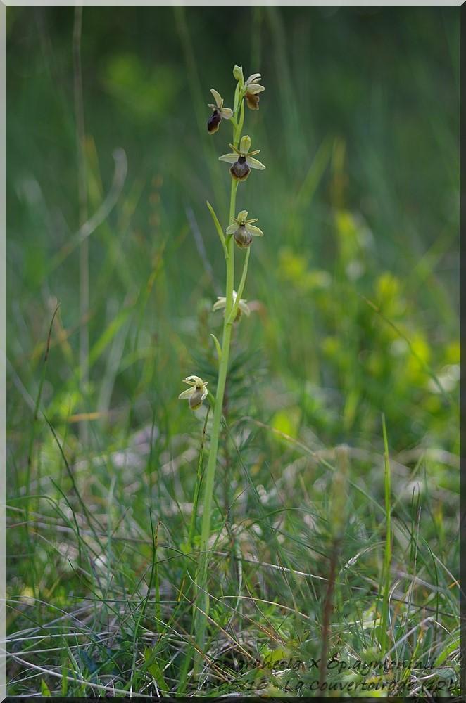 Ophrys aymoninii x litigiosa ( araneola ) Imgp6915