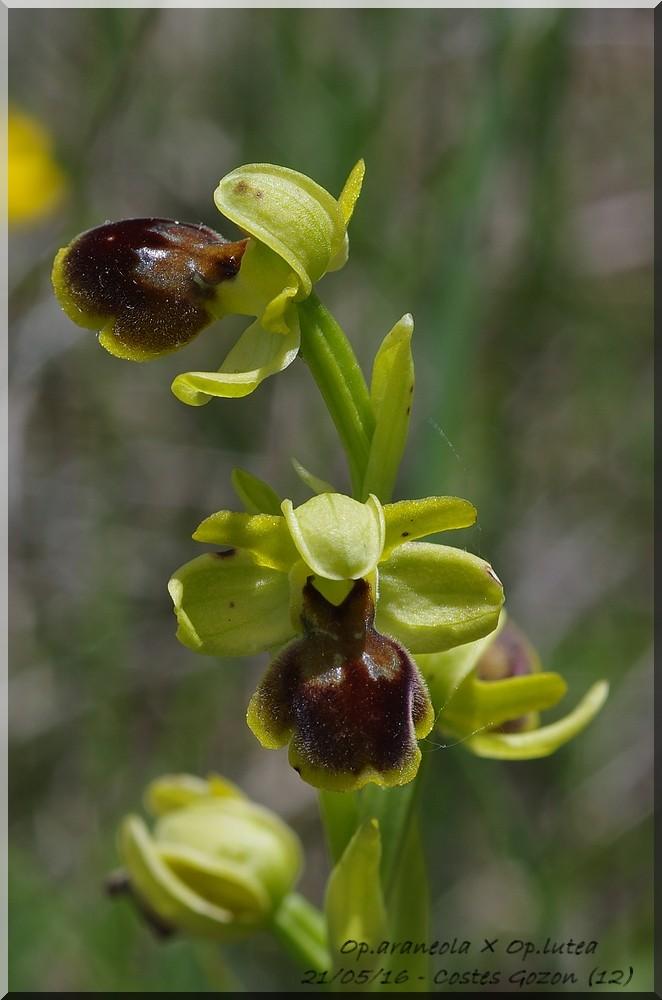 Ophrys litigiosa ( araneola )× lutea  Imgp7210