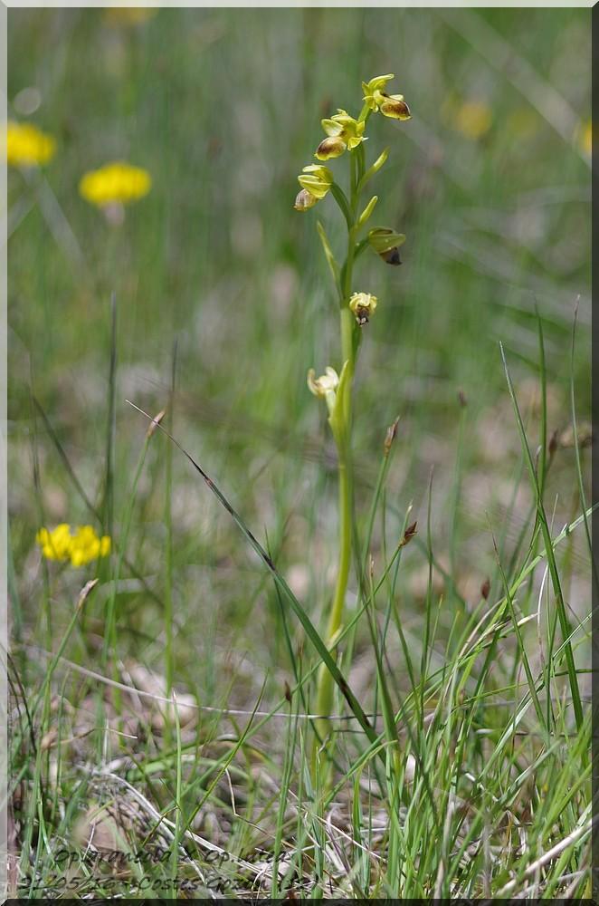 Ophrys litigiosa ( araneola )× lutea  Imgp7212