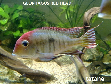 Aquariophilie 56 du Morbihan Tatane17