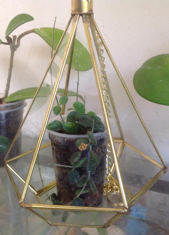 Hoya Serpens, mon précieux !!! Image10
