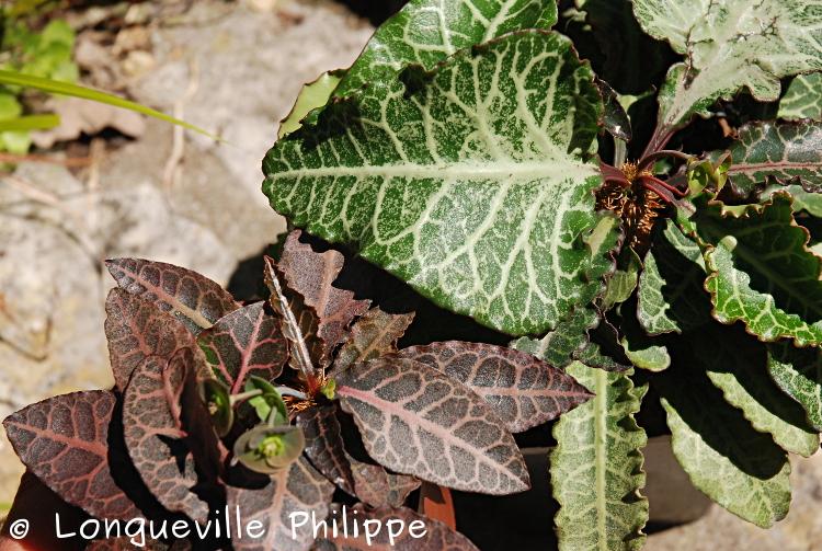 Euphorbia francoisii - Page 17 Dsc_6411