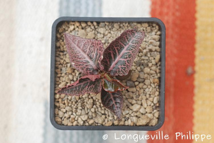 Euphorbia francoisii - Page 18 Dsc_6419