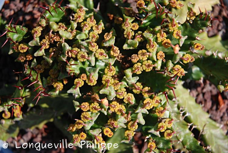 Euphorbia stellata - Page 6 Es2-211