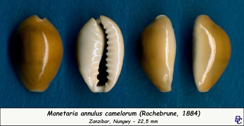 Monetaria annulus camelorum - (Rochebrune, 1884) voir Monetaria annulus - (Linnaeus, 1758) Annulu10