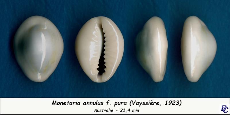 Monetaria annulus f. pura - (Vayssière, 1923) Annulu12