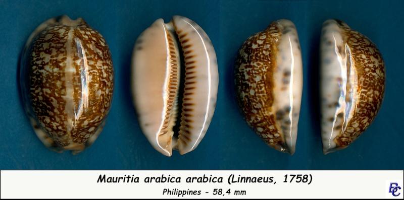 Mauritia arabica arabica - (Linnaeus, 1758)  Arabic14
