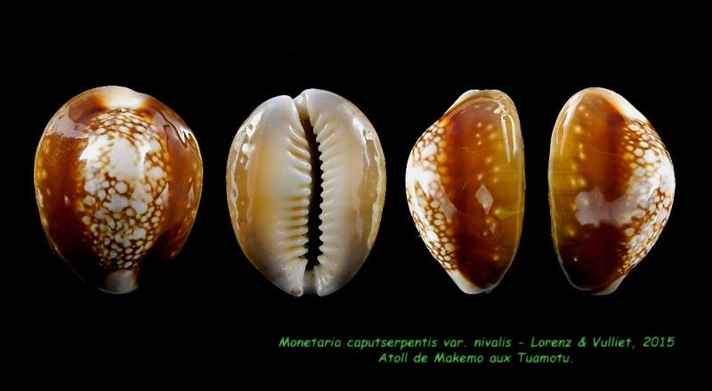 Monetaria caputserpentis nivalis - Lorenz & Vulliet, 2016  Caputs11