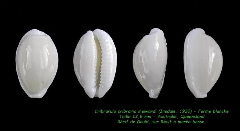Cribrarula cribraria melwardi - (Iredale, 1930) Cribra10