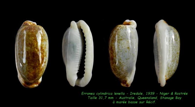 Erronea cylindrica lenella - Iredale, 1939 Cylind10