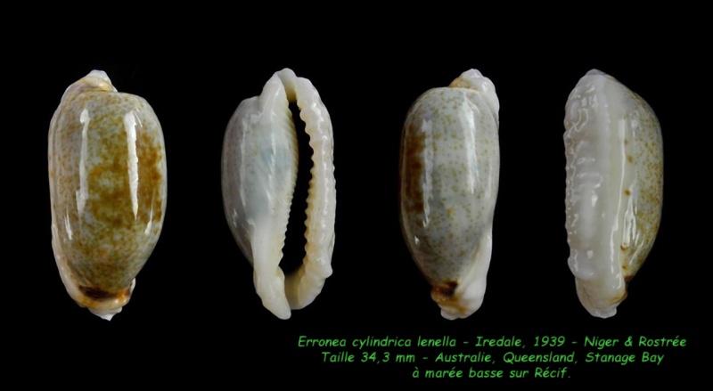 Erronea cylindrica lenella - Iredale, 1939 Cylind11