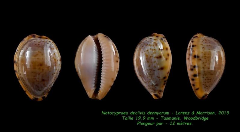 Notocypraea declivis dennyorum - Lorenz & Morrison, 2013 Decliv10