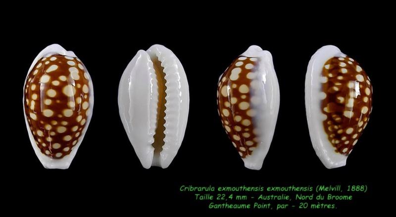 Cribrarula exmouthensis - (Melvill, 1888) Exmout14
