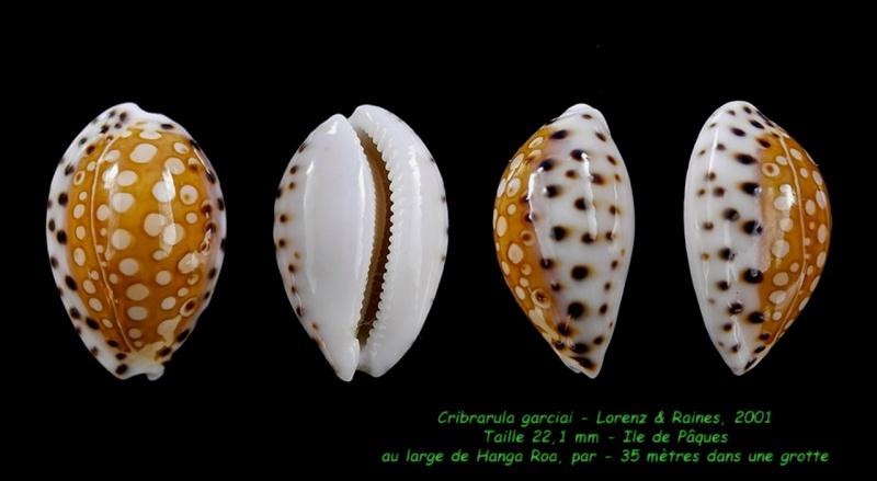 Cribrarula garciai - Lorenz & Raines, 2001 Garcia12