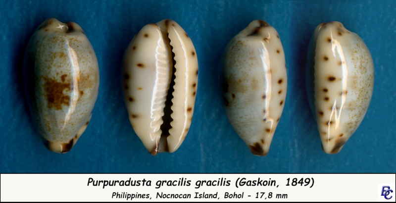 Purpuradusta gracilis gracilis - (Gaskoin, 1849) Gracil12