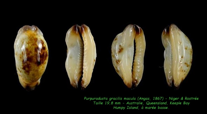Purpuradusta gracilis macula - (Angas, 1867) Gracil14