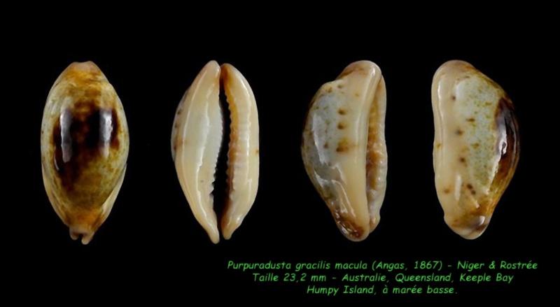 Purpuradusta gracilis macula - (Angas, 1867) Gracil15