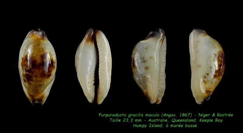 Purpuradusta gracilis macula - (Angas, 1867) Gracil16