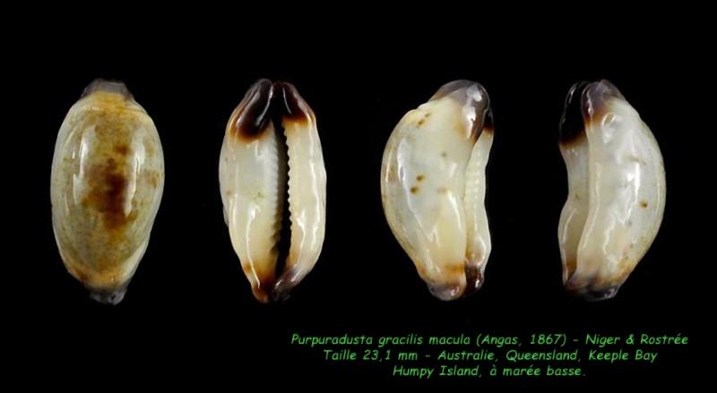 Purpuradusta gracilis macula - (Angas, 1867) Gracil17