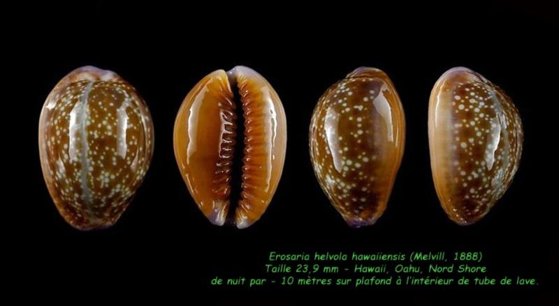 Naria helvola hawaiiensis - (Melvill, 1888) Helvol10