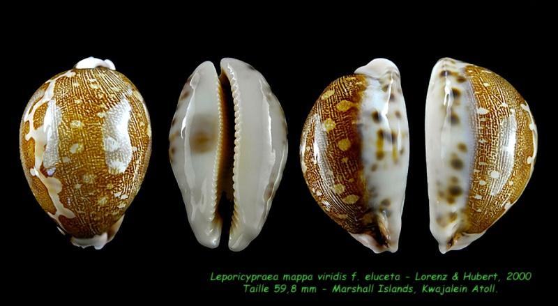 Leporicypraea mappa viridis f. eluceta - Lorenz, F. Jr. & A. Hubert, 2000  Mappa_15