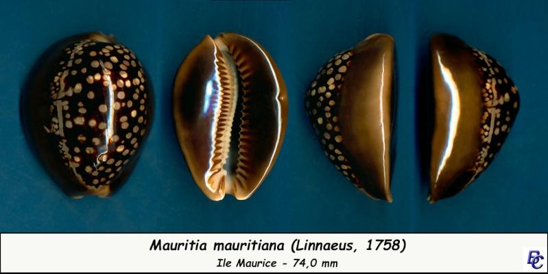 Mauritia mauritiana - (Linnaeus, 1758) - Page 6 Maurit10