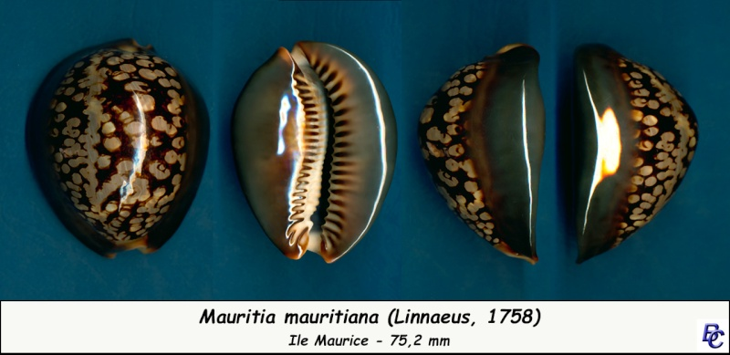 Mauritia mauritiana - (Linnaeus, 1758) - Page 6 Maurit11