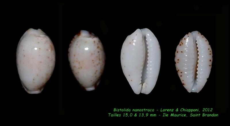 Bistolida nanostraca - Lorenz & Chiapponi, 2012 Nanost11