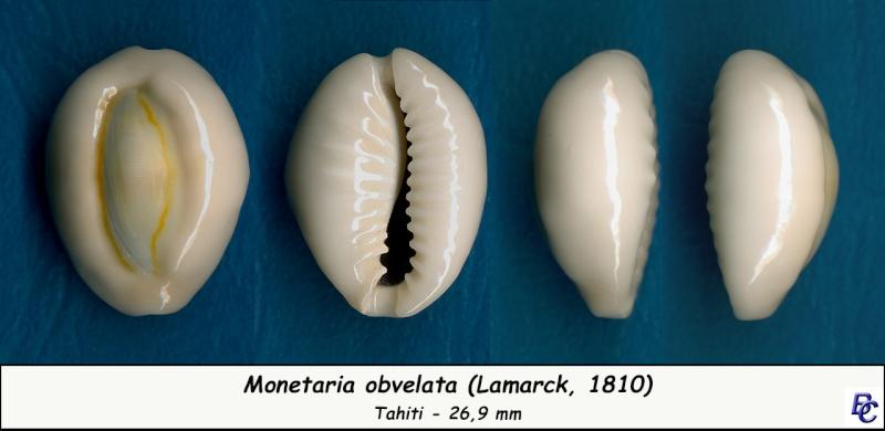 Monetaria obvelata - (Lamarck, 1810) Obvela11