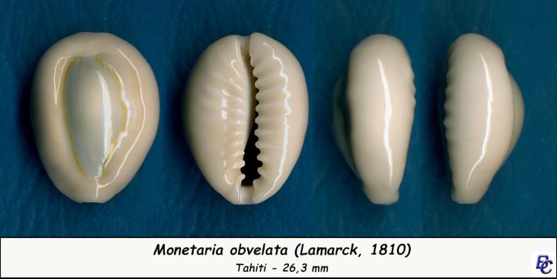 Monetaria obvelata - (Lamarck, 1810) Obvela12