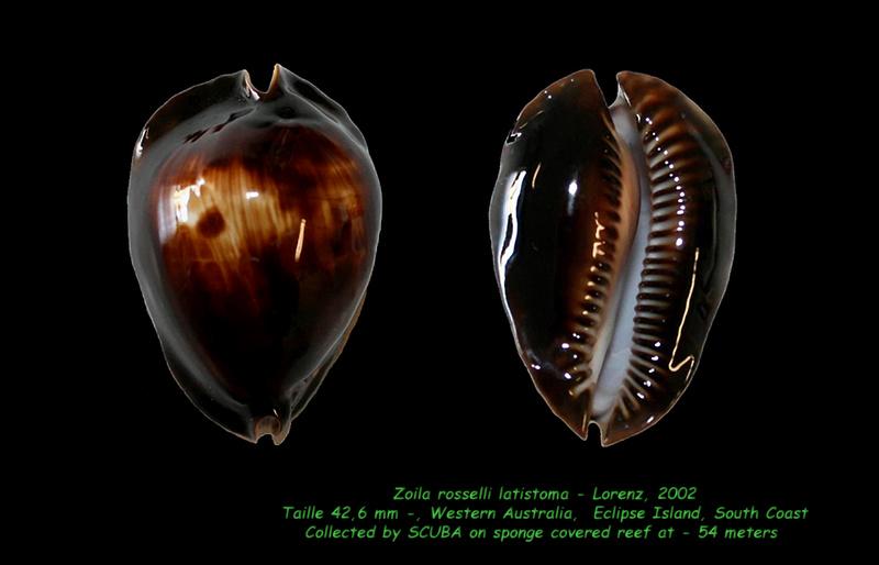 Zoila rosselli latistoma - Lorenz, 2002 Rossel12