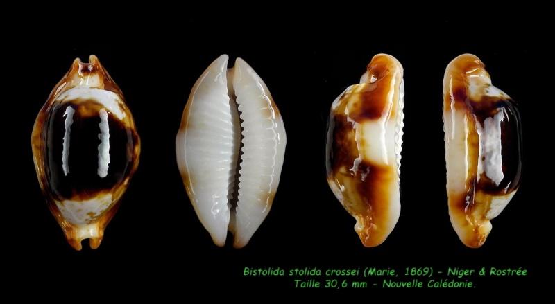 Bistolida stolida crossei - (Marie, 1869) Stolid11