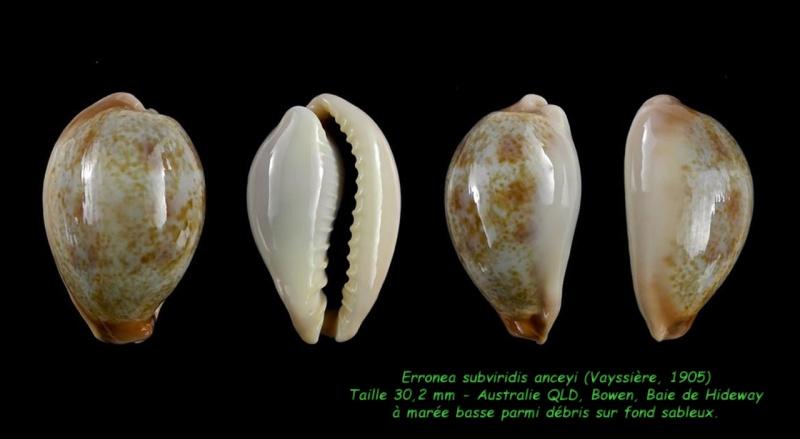 Erronea subviridis anceyi - (Vayssière, 1905) voir Erronea subviridis (Reeve, 1835) Subvir13