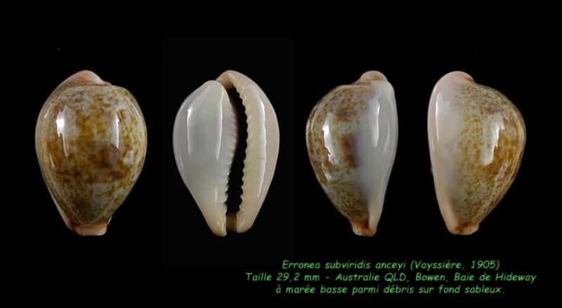 Erronea subviridis anceyi - (Vayssière, 1905) voir Erronea subviridis (Reeve, 1835) Subvir14