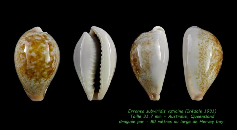 Erronea subviridis vaticina - (Irédale 1931) Subvir15