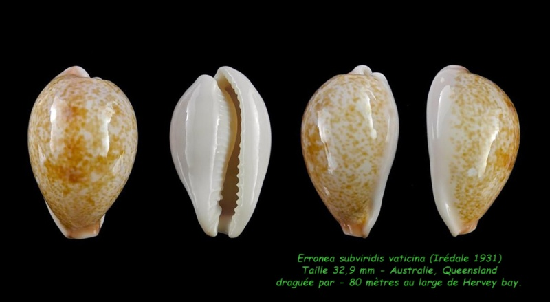 Erronea subviridis vaticina - (Irédale 1931) Subvir17