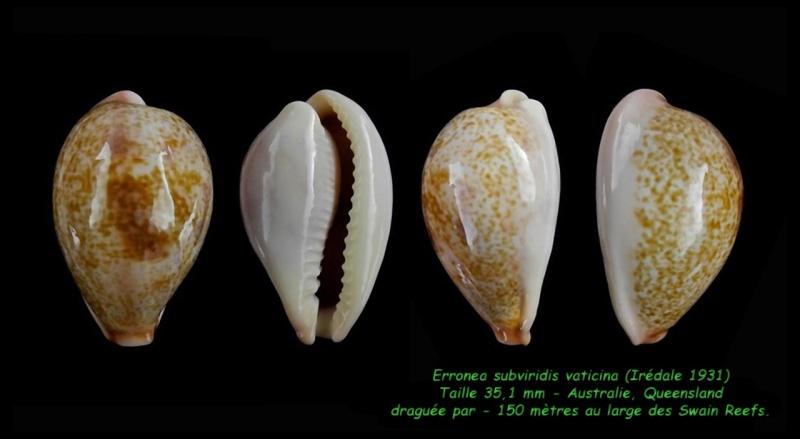 Erronea subviridis vaticina - (Irédale 1931) Subvir18