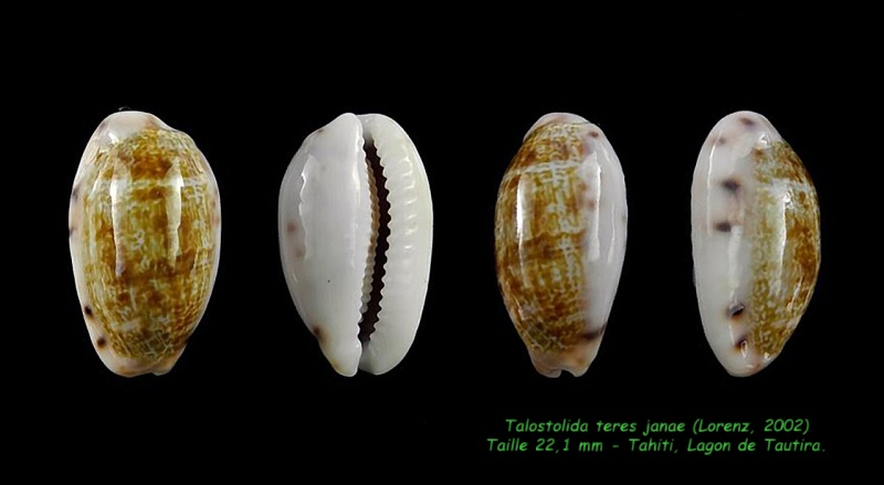 Talostolida teres janae - (Lorenz, 2002) Teres_10