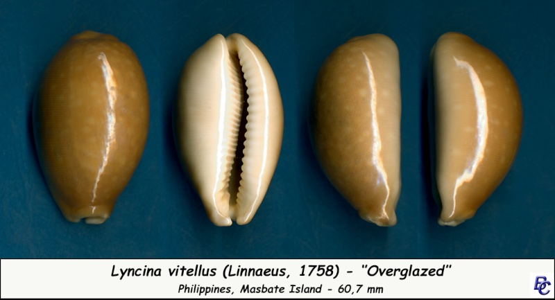 Lyncina vitellus - (Linnaeus, 1758)   Vitell11